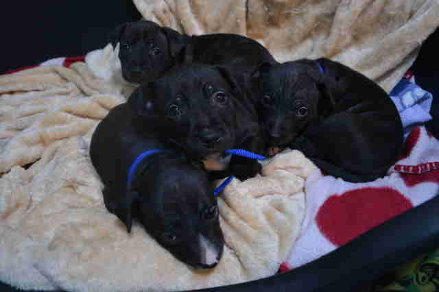 Rescued pit bull puppies napping in a pile at London shelter