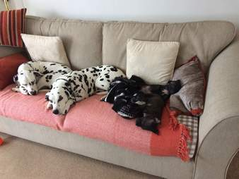 Pit bull puppies at foster home with large Dalmatians
