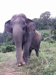 fluffy asian elephant thailand