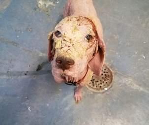 bald dog mange rescue desert utah