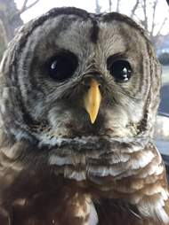 injured owl rescued by police officer