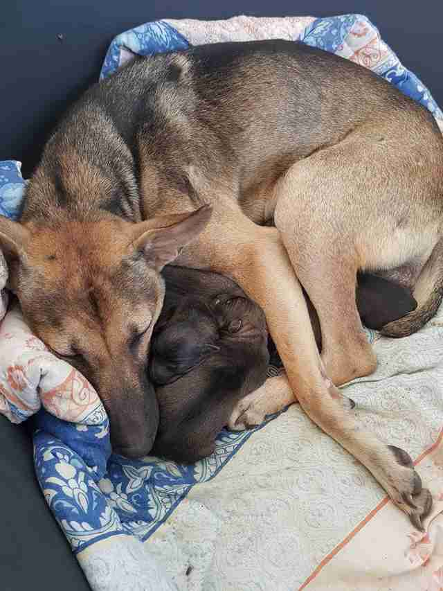 michael chour pregnant dog rescue puppies