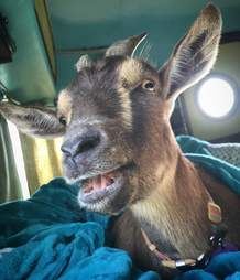 Pet goat on road trip with family