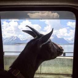 Pet goat looking out window of vintage Airstream