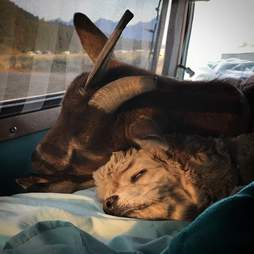 Traveling pet goat and dog napping in Airstream