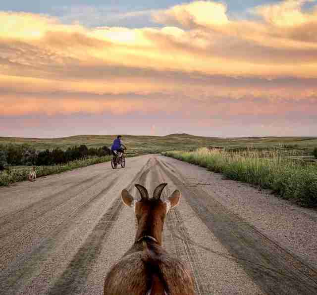 Traveling pet goat on road at sunset