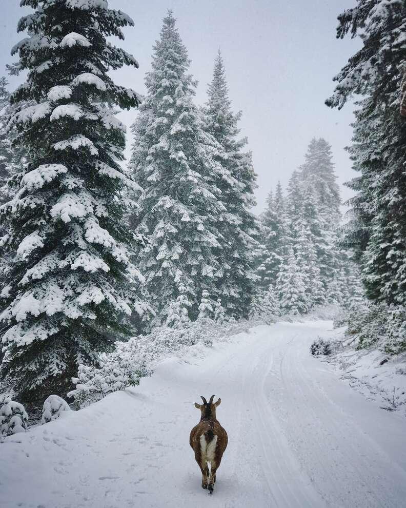 Pet goat exploring snowy road on road trip
