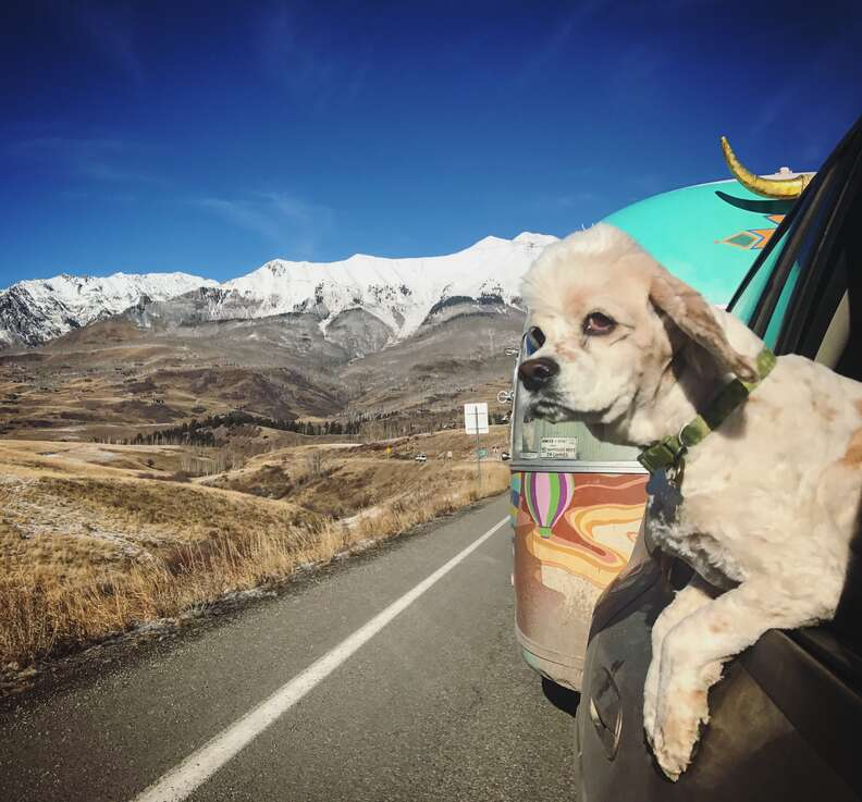 Dog hanging out car window on road trip