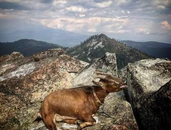 Pet goat on mountain