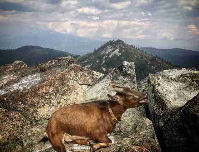 Pet goat on mountain