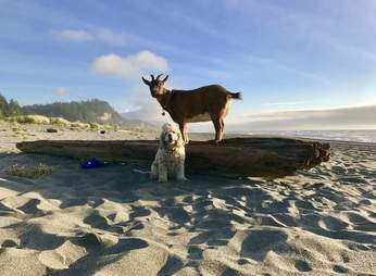 Traveling pet goat and dog at beach