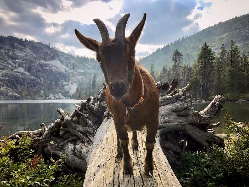 Couple takes pet goat on adventures