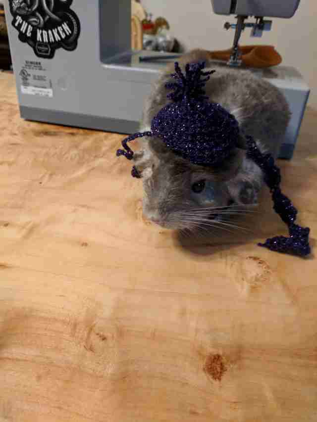 chinchilla wearing a hat