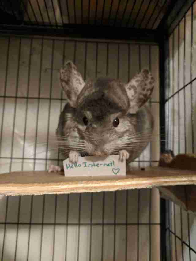 Ari the chinchilla holds a tiny sign