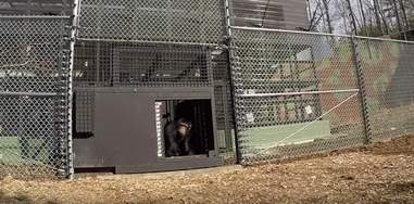 project chimps lab chimp feels grass first time