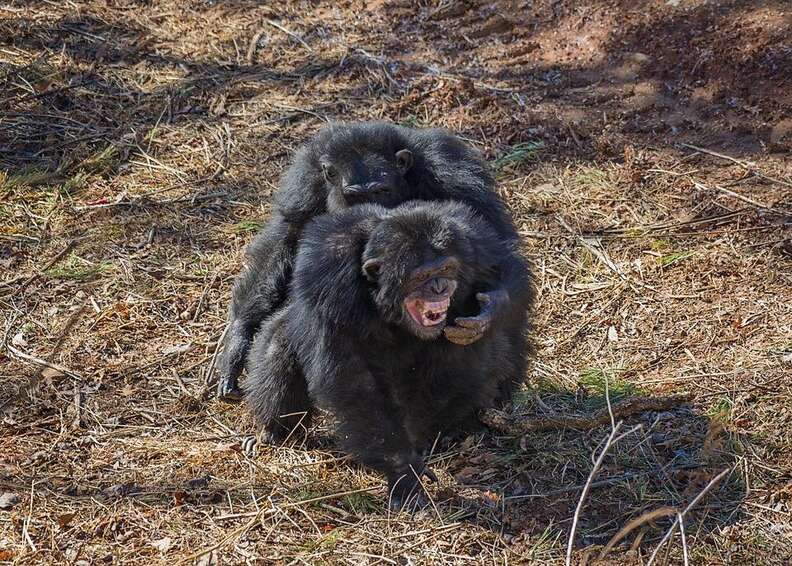chimps feel grass for the first time