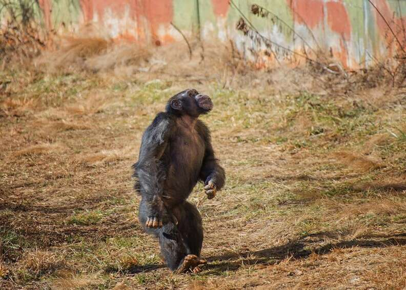 lab chimp feels grass first time