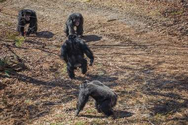 rescue lab chimps feel grass first time