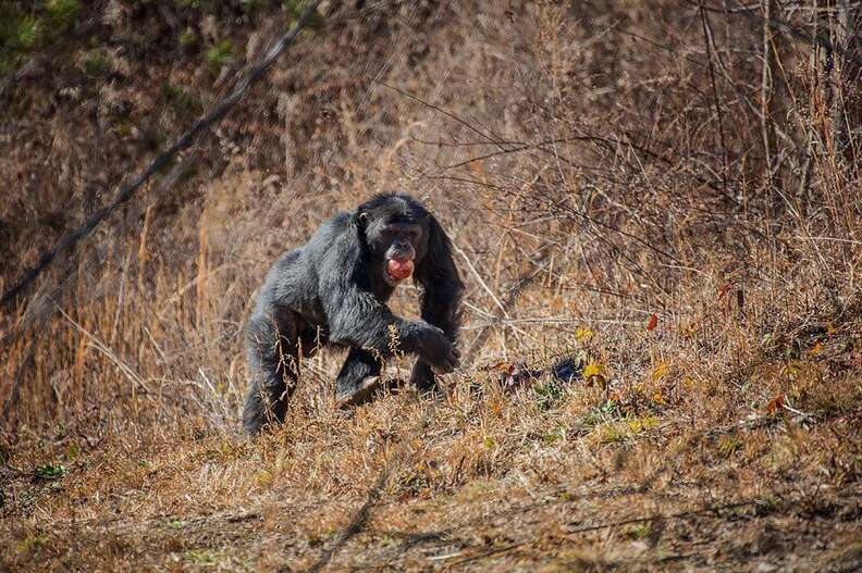 lab chimps feel grass first time