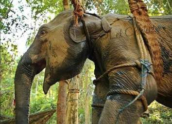 elephant thailand tourist camp crush