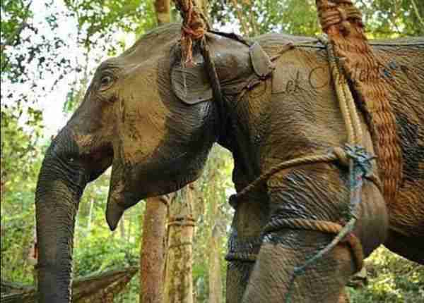 elephant thailand tourist camp crush