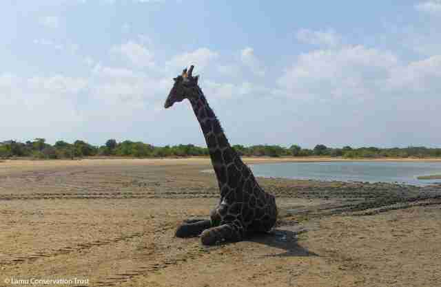 Giraffe saved from mud pit in Africa