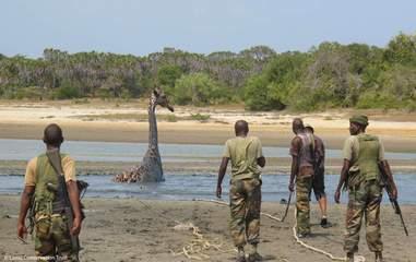 Rescuers arriving for giraffe stuck in mud