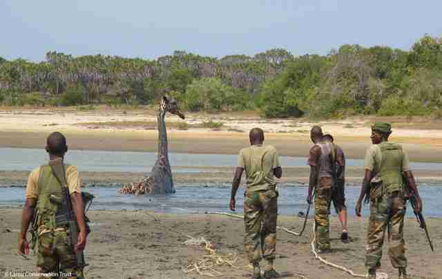 Rescuers arriving for giraffe stuck in mud