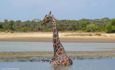 Giraffe stuck in mud in Kenya