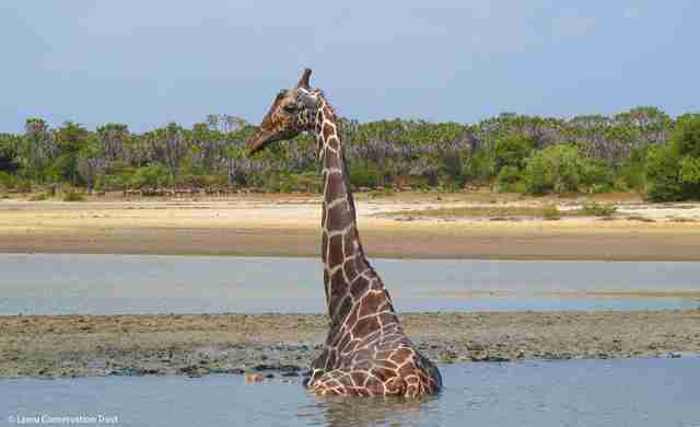 Giraffe stuck in mud in Kenya