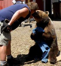 Man touching noses with captive bear