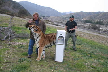 Notorious animal trainer Sid Yost with a captive tiger