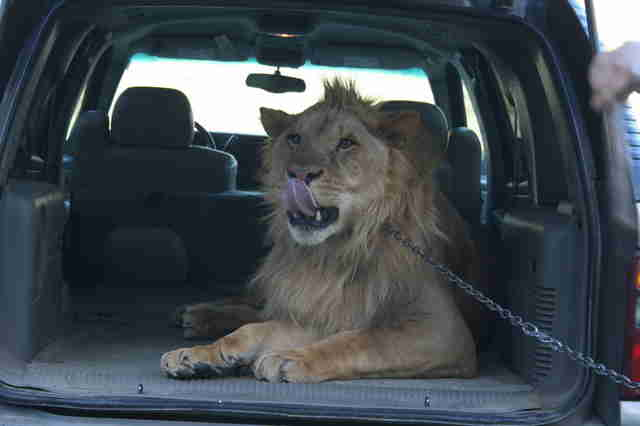 Captive lion in the back of a car