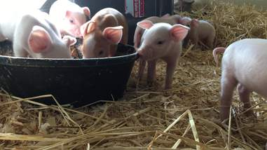 sick piglets abuse rescue new york