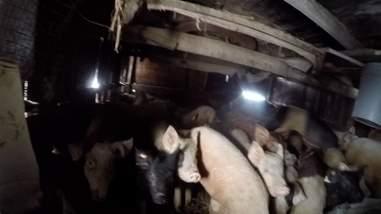 emaciated pig rescue farm new york