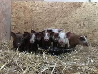 sick piglets rescue farm new york