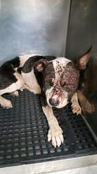 penelope dog rescued dogfighting