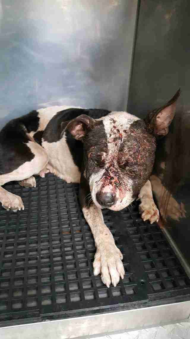 penelope dog rescued dogfighting