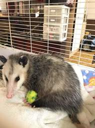 Injured opossum at rescue center in Ontario