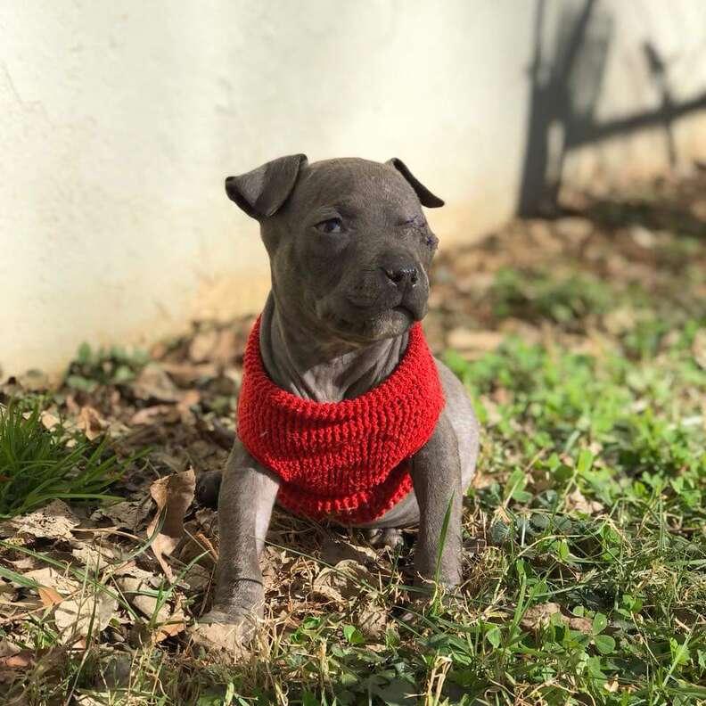pit bull puppy south carolina orphan
