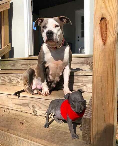 pit bull adopts orphan puppy south carolina