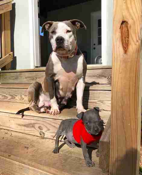 pit bull adopts orphan puppy south carolina