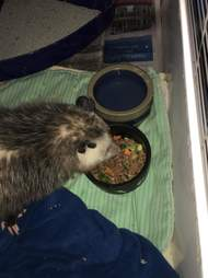 Injured opossum eating on his own at Ontario rescue center