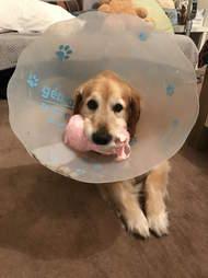 dog wears cone of shame