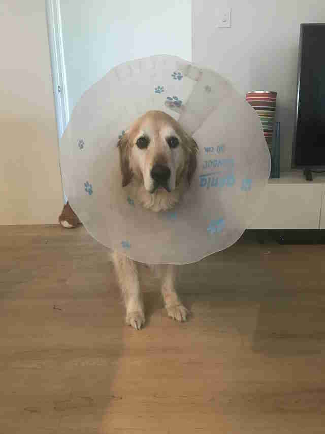dog wears cone of shame