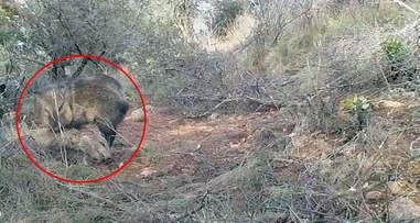 Wild javelina visiting dead body