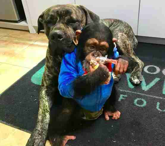 baby chimp with dog viral video