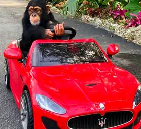 baby chimp zoo car