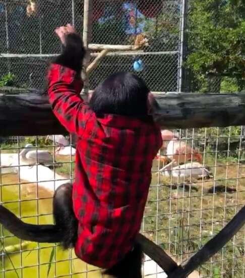 baby chimp zoo climb