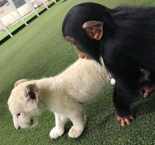baby chimp zoo white tiger